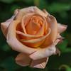 Spring Rose #4 (yamabuki***) Tags: spring springrose 横浜 asc7837 横浜イングリッシュガーデン