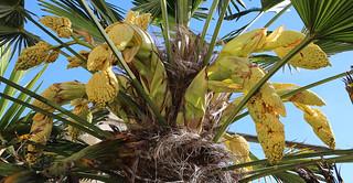 flowering chusan palm
