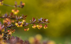 berberis vulgaris (05) (Vlado Ferenčić) Tags: žutika berberisvulgaris vladoferencic macro vladimirferencic closeup closeupmacro zagorje croatia hrvatska nikond600 sigma15028macro blossoms flowers