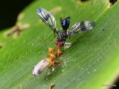 Colorful fly, Richardia sp., Richardiidae having breakfast in company of a leaf beetle (Ecuador Megadiverso) Tags: beetle chrysomelidae coleoptera diptera fly focusstack galerucinae httpsepubuniregensburgde20501v082p0432pdf richardiidae richardia
