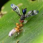 Colorful fly, Richardia sp., Richardiidae having breakfast in company of a leaf beetle thumbnail