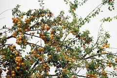 Summer fruits (analogrem) Tags: fruits fruit tree yellow branches analog film analogue rich abundant twigs round prunus cerasifera cherry plum sky look up