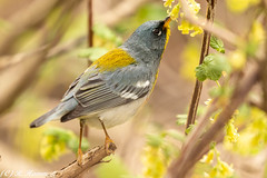 Nectar snack (Ronda Hamm) Tags: wildlife mageemarsh nature migration ohio 100400mkii bird canon warbler 7dii northernparula