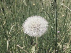 Petit duvet des champs 🌾🌾🌾 (LUMEN SCRIPT) Tags: meadow field unsharp blur softfocus bokeh textures 2colours twocolours plant nature macro closeup close perspective artistic