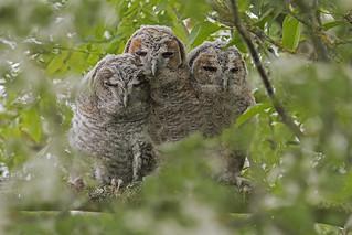 Tawny Owl (Strix aluco) fledglings