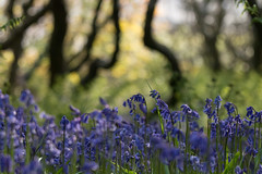 Blubells in the Wiggly Wood (jillyspoon) Tags: bluebells spring wood blue scotland forest