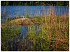 Svanemor på reiret (Krogen) Tags: norge norway norwegen akershus romerike ullensaker jessheim nordbytjernet krogen panasoniclumixgx7 mitakonspeedmaster