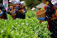 tea picking (anmindofu1) Tags: 2018 may nikon japan kourakuen okayama teapicking