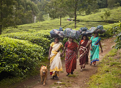 Tea Plantation Workers (Sharpshooter Alex) Tags: agriculture farm travel india indian tea plantation women female dog path leaves sari workers trees