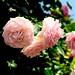 Pink Rose in The Yamashita Park, Yokohama (Future of The Rose Garden) : 山下公園(未来のバラ園)の薔薇