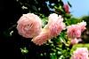Pink Rose in The Yamashita Park, Yokohama (Future of The Rose Garden) : 山下公園(未来のバラ園)の薔薇 (Dakiny) Tags: 2018 spring may japan kanagawa yokohama nakaward yamashitacho park yamashitapark garden rosegarden plant tree flower rose macro bokeh nikon d750 nikonafsmicronikkor60mmf28ged afsmicronikkor60mmf28ged nikonclubit