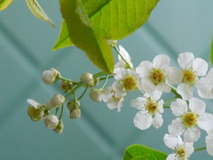 bird cherry (cloversun19) Tags: birdcherry butterfly summerimage red image flowerimages picture june flowering bloom blossoming blooming positive happy glory beauty romantic warm pink story love summer grass flowers bright garden springimage morning sun may spring white green branches branch trees wood macro flower appleflower appletree apple tree blossom