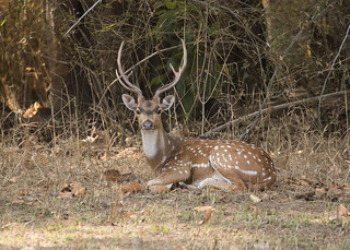 Chital (Spotted Deer) - Axis axis