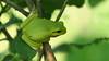 Hidden in the green (nikjanssen) Tags: boomkikker nature macro treefrog green groen