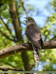 Common Hawk-cuckoo (Hierococcyx varius) (gilgit2) Tags: avifauna birds canon canoneos7dmarkii category commonhawkcuckoohierococcyxvarius fauna feathers geotagged imranshah khushab location pakistan punjab species tags tamron tamronsp150600mmf563divcusd uggali wildlife wings gilgit2 hierococcyxvarius