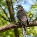 Common Hawk-cuckoo (Hierococcyx varius)