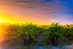 Grape vines in McLaren Vale at sunset (spotandshoot.com) Tags: adelaide australia blue mclaren shiraz south valley agriculture cabernet chardonnay clouds country countryside crop cultivated farm farmland field fruit grape green growth idyllic industry landscape making natural nature organic outdoors panorama plant row rural sauvignon scene scenic season sky summer sun sunset tour tourism travel vibrant vineyard viticulture wine winery sa