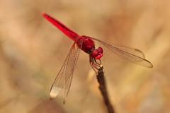 Male Scarlet Skimmer Dragonfly (Crocothemis servilia) (natureloving) Tags: scarletskimmerdragonfly crocothemisservilia maleruddymarshskimmer dragonfly libellue nature macro dof insect natureloving nikon d90 afsvrmicronikkor105mmf28gifed