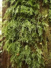 Moss growing on a tree trunk (Baractus) Tags: moss tree trunk john oates mavista nature walk bruny island tasmania australia inala tours