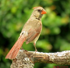 """""""The Offical Bird"""" (Gary Helm) Tags: female northerncardinal bird birds fly flight perch wings tree branch nature wildlife floridawildlife county polkcounty grass wood forest animal image photograph ghelm4747 garyhelm outside outdoor sx60hs canon powershot camera"""