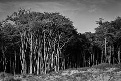 Baumgruppe Fischland-Darss (jmwill2005) Tags: baum bäume wald nationalpark vorpommersche boddenlandschaft fischland darss zingst ahrenshoop prerow ostsee meer strand küste natur naturschutz naturschutzgebiet sand ufer