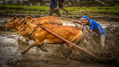 Pacu Jawi (tehhanlin) Tags: sony indonesia padang pacu jawi pacujawi peoples people culture faces travel humaninterest cow animal animals cowrace ngc festival westsumatera sports sport asia