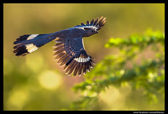 Beauty of The Nature (asifsherazi) Tags: greygoawaybird lakebaringo kenya asifsherazi bif pakistaniwildlifephotographer wild wildlife africawildlife