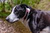 Zac by the waterside (grahamrobb888) Tags: d800 nikon nikond800 nikkor nikkor20mmf18 birnamwood perthshire scotland zac dog pet leaves