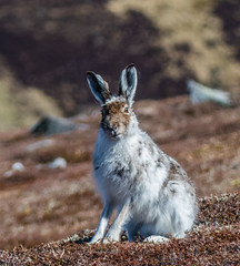 0126 (511) - Mountain Hare (Zana Benson) Tags: cairngorms glenshee mountainhare thecairnwell