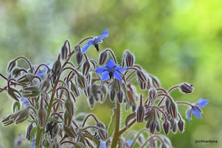 2018-04-252 blue borage flowers , borragine