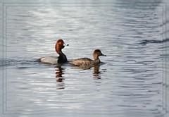~~~ Redhead Duck Pairing ~~~ (Wolverine09J ~ 1.5 Million Views) Tags: aprilspringwaterfowlcrd redheadduck waterfowl avianwildlife traveling uppermississippiriver springtime migratorybird nature minnesota level1thewondersofnature 1goldwildlife