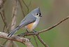 Tufted titmouse (THANK YOU FOR 2 MILLION VIEWS) Tags: bird nature tree tufted titmouse horn pond