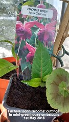 Fuchsia 'John Grooms' cuttings in mini-greenhouse on balcony 1st May 2018 (D@viD_2.011) Tags: fuchsia john grooms cuttings minigreenhouse balcony 1st may 2018