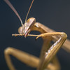 Mantis (tarjangz) Tags: praying mantis mantidae insect insects nature wild macro flying