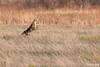 Morning stretch (dekish1) Tags: jump coyote copyrightdavidkish2018 canon100400mm canon5div cherrycreekstatepark 2r1a7172jpg colorado