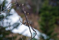 Accenteur mouchet (JeanJoachim) Tags: accenteurmouchet prunellamodularis dunnock hedgesparrow passeriformes prunellidae oiseau bird vogel aves uccello fågel fugl pássaro バード lintu птица ptak pentaxk5ii smcpentaxda300mmf4edifsdm heckenbraunelle