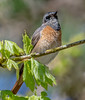 DSC9969  Redstart... (jefflack Wildlife&Nature) Tags: redstart redstarts birds avian animal animals wildlife wildbirds woodlands forest songbirds summermigrant uplands moorland heathland hedgerows trees countryside nature
