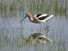 American Avocet (Patricia Henschen) Tags: americanavocet american avocet shorebird bird southriverroad alamosa colorado rural backroads backroad ranch countryside reflection reflections sanluisvalley spring