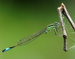Blue tailed damselfly Barn Elms WWT (#Dave Roberts#) Tags: barn elms wwt london uk england wildlife insects damsel damselfly butterfly may spring 2018 bokeh