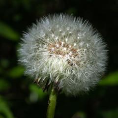 Dandelion (- Jan van Dijk -) Tags: nieuwendam amsterdam bloem seeds flower nature fiori fleur blumen paardebloem dandelion northholland frühling spring lente pluisje pluizenbol