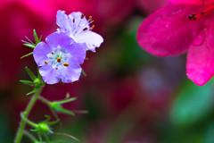 Fernleaf Phacelia (The Flying Inn) Tags: delaware flowers hockessin mtcuba nature naturecenter newcastlecounty bipinnatifida fernleafphacelia flora macro plants unitedstates us