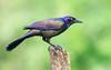Grackle (Lynn Tweedie) Tags: wood bokeh ef400mm56usm beak tail grackle canon ngc animal colorful feathers bird green eye missouri bark eos