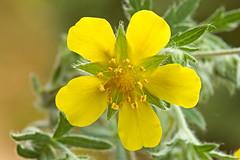 Potentilla argentea (ab.130722jvkz) Tags: botany 2018botany wildflowers rosaceae potentilla
