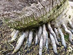 Tree Roots (jenichesney57) Tags: