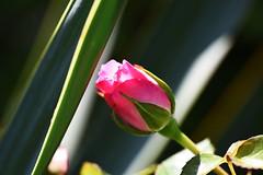 DSC_9897 (PeaTJay) Tags: nikond750 sigma reading lowerearley berkshire macro micro closeups gardens outdoors nature flora fauna plants flowers rose roses rosebuds