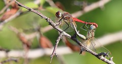 Libelulas - (Dragonflies) -  Love making... (carloscmdm) Tags: insetos selvagem natureza