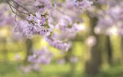 A place where the sun sets (- A N D R E W -) Tags: cherry tree spring primavera nature bokeh dof depth field naturaleza arboles colorful color vibrant out focus light luz sun shine sol pink rosa green verde canon 80d tamron 90mm f28 flowers flores leaves hojas