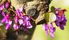 Its time to eat. Es la hora de comer (A. Muiña) Tags: vegetal vegetable insecto insect brote bud color árboldelamor cercissilicuastrum flor decoración sheet hoja arbusto bush primavera spring flowers naturaleza nature garden jardín airelibre freshair bokeh desenfoque planta plant rojo p´rpura process post macrofotografía nikon nikond800 macro