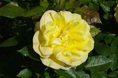 IMGP9806 (Steve Guess) Tags: surbiton fishponds ewellroad surrey greater london gb uk england rose flower bloom