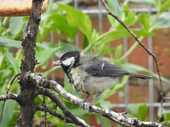 Great tit (Simply Sharon !) Tags: greattit bird gardenbird britishwildlife wildlife nature inthegarden gardenvisitor may